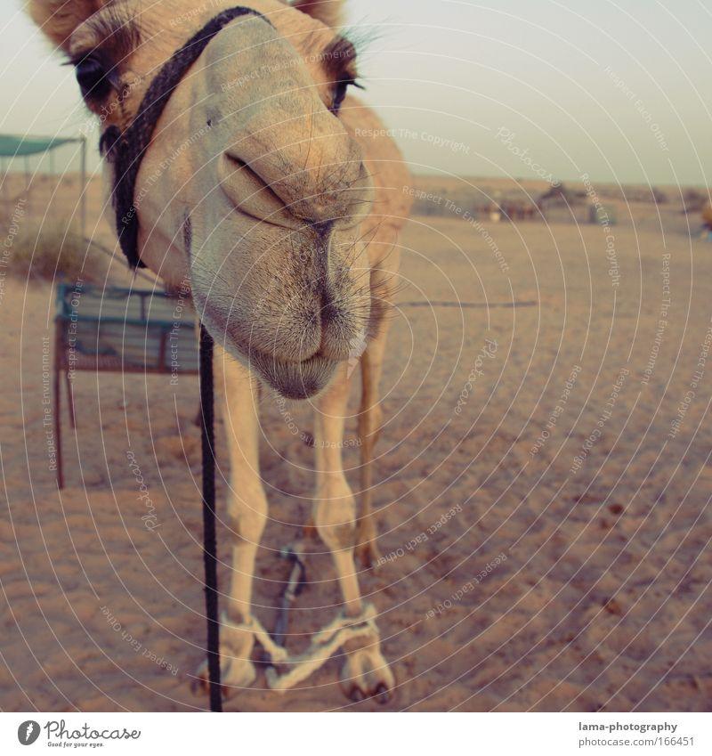 Tach auch! Farbfoto Außenaufnahme Lomografie Holga Textfreiraum rechts Abend Dämmerung Weitwinkel Tierporträt Blick Blick in die Kamera Zoo Sand Wüste Sahara