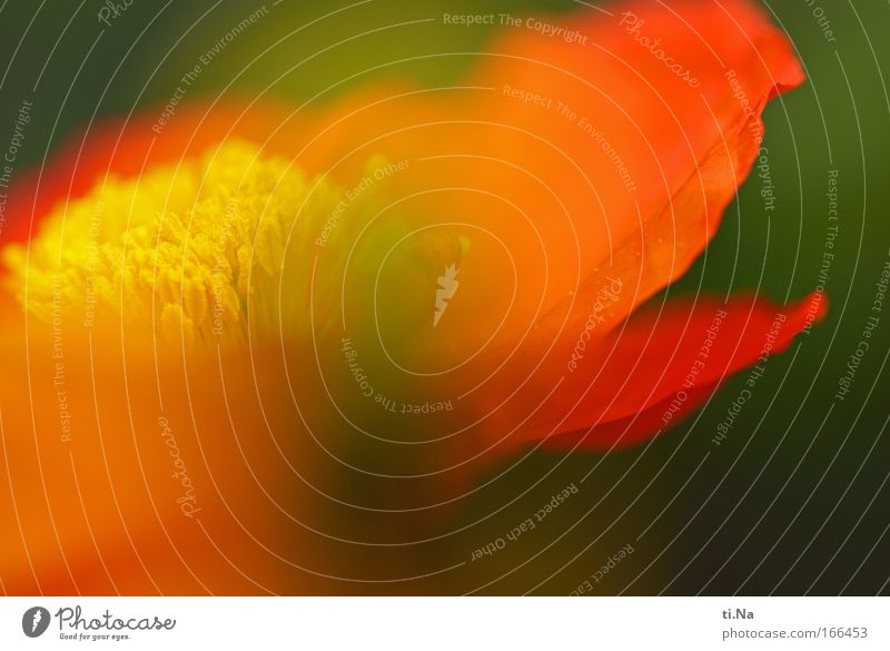 Papaver nudicaule - Island Mohn Natur schön Pflanze Sommer Blume Erholung Umwelt Wiese Frühling Blüte orange natürlich authentisch leuchten einzigartig Blühend