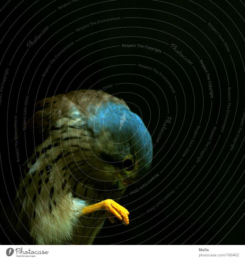 Fußpflege Tier gelb dunkel Vogel Wildtier Falken Feder Reinigen Sauberkeit Tiergesicht Krallen Reinheit gefiedert Reinlichkeit Greifvogel Turmfalke