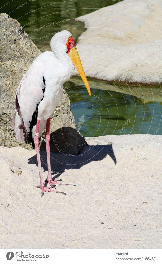 Nimmersatt Natur Wasser rot schwarz Tier gelb Park Sand Landschaft Vogel Tierfuß Felsen stehen Feder Flügel beobachten