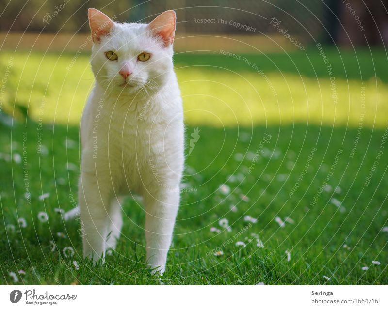 Snow White Pflanze Tier Frühling Park Wiese Haustier Katze Tiergesicht Fell Krallen Fährte 1 Tierjunges schön klug Geschwindigkeit süß Weiße Katze Katzenkopf
