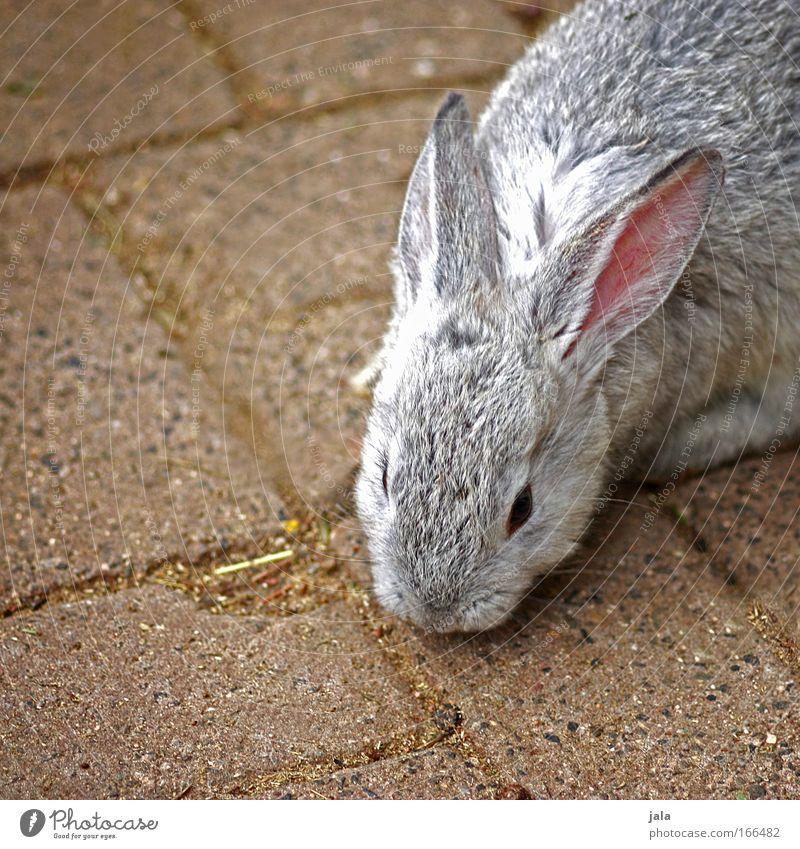 Mr. Rabbit Tier Fell Zoo Streichelzoo Hase & Kaninchen 1 Geschwindigkeit schön grau Farbfoto Außenaufnahme Menschenleer Tag Tierporträt Osterhase