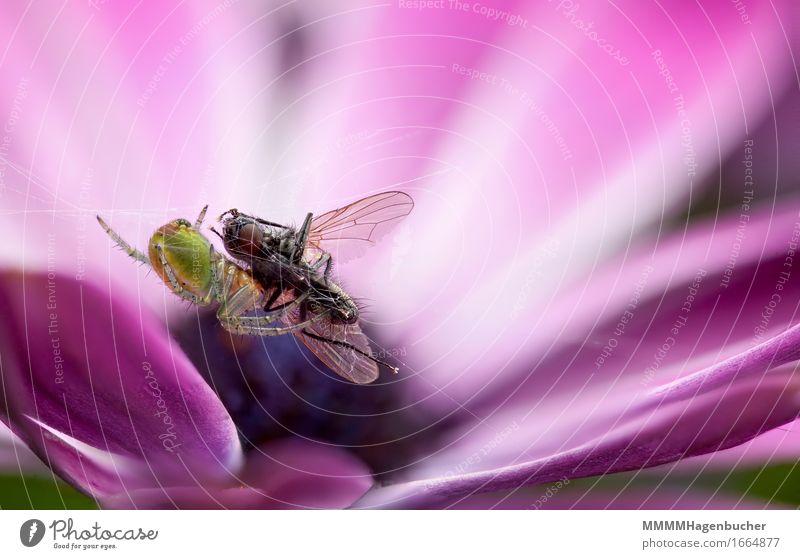 Fressen und gefressen werden Natur Blume Tier Fliege Spinne Netz klein violett rosa Appetit & Hunger Angst gefräßig Ekel Araniella cucurbitina Radnetzspinne