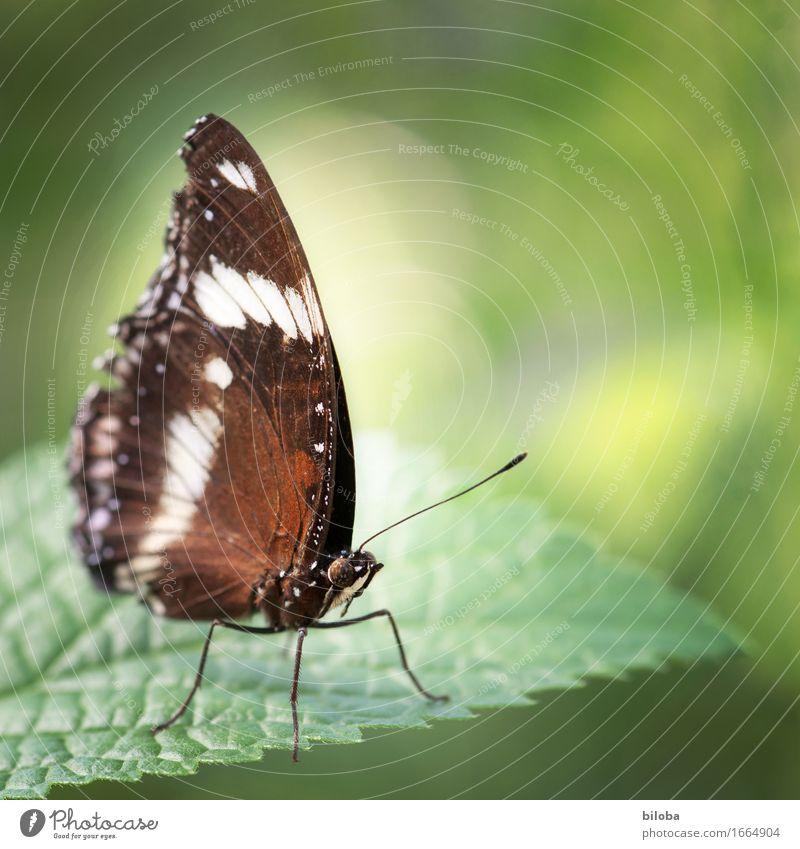 Schmetterling Natur Pflanze grün weiß Tier Umwelt braun Wildtier Schmetterling