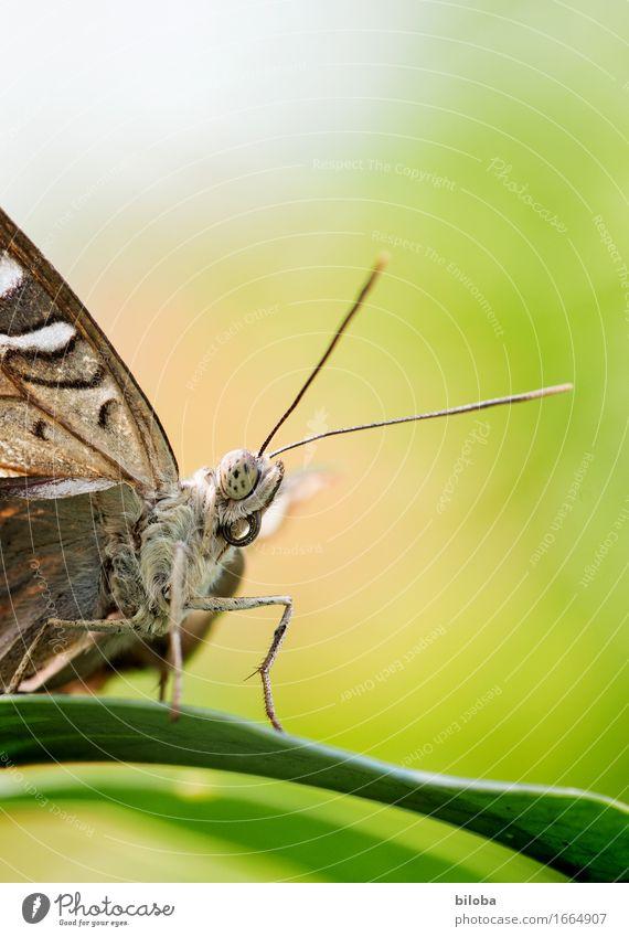 Ich sehe was, das du nicht siehst. Pflanze grün weiß Blatt Tier braun Schmetterling