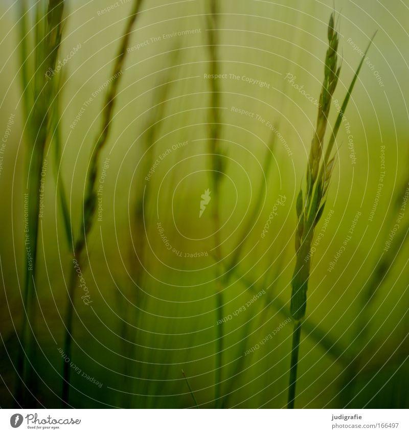 Gras Natur grün Pflanze Sommer ruhig Umwelt gelb Wiese Gras Wachstum einzigartig Idylle Stengel Halm harmonisch Samen
