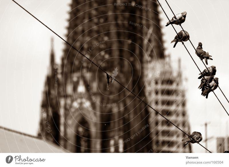 Wahrzeichen Köln Tier Architektur Gebäude braun Vogel Tiergruppe Bauwerk Dom Taube Sehenswürdigkeit Schwarm Brunft Schwarzweißfoto Kölner Dom