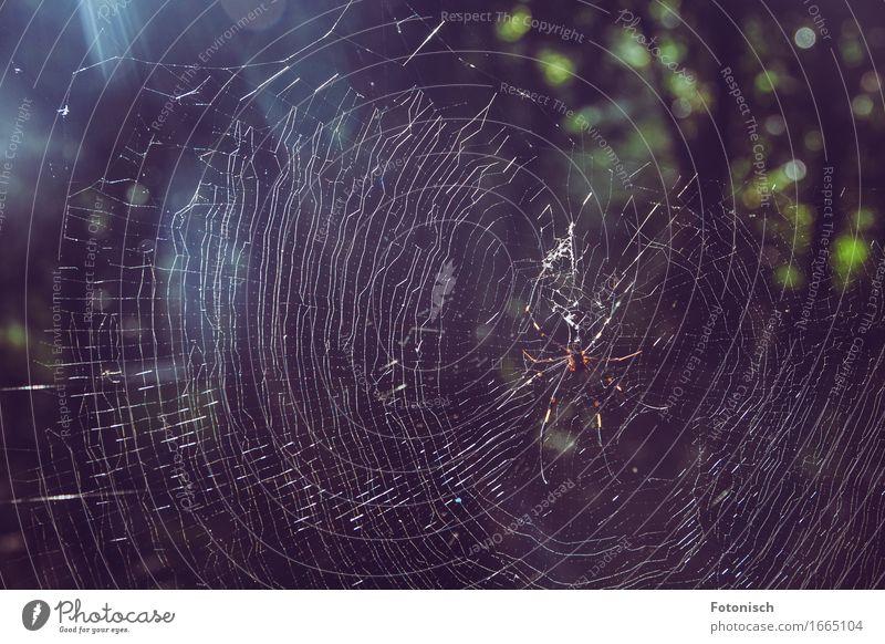 australische Spinne in ihrem Netz Natur Urwald Tier Wildtier 1 groß Tierliebe Spinnennetz Farbfoto Außenaufnahme Nahaufnahme Textfreiraum oben Licht
