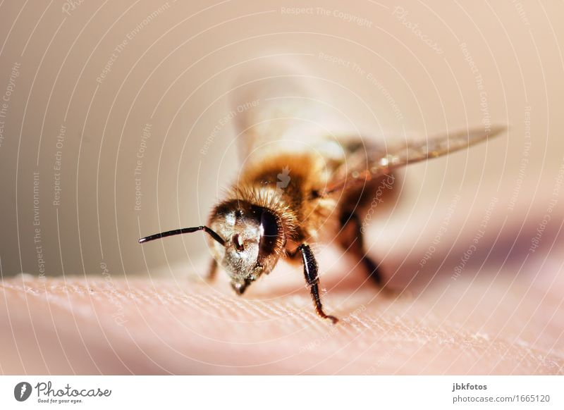 bitte nicht stechen Lebensmittel Haut Hand Umwelt Tier Nutztier Biene Tiergesicht Flügel 1 ästhetisch trendy schön einzigartig Insekt Honigbiene sanft Fühler