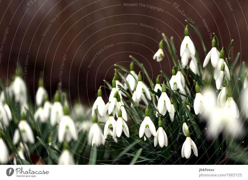 Bald ist's wieder soweit... Umwelt Natur Pflanze Schnee Grünpflanze Schneeglöckchen Garten Park Wiese ästhetisch Winter Frühling Frühlingsgefühle Frühlingsblume