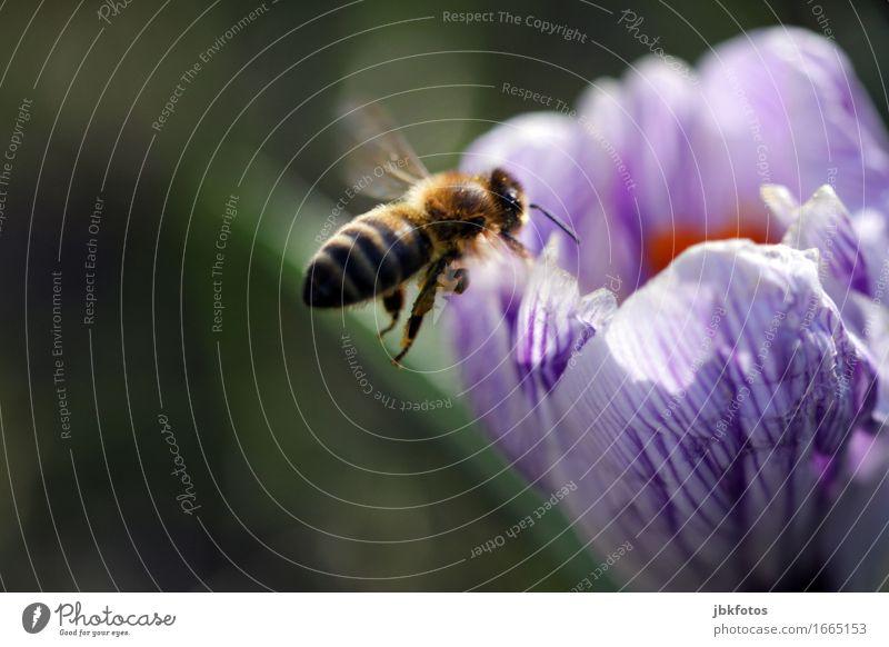 Brumsummsumm Natur Blume Tier Umwelt Blüte Frühling außergewöhnlich Lebensmittel fliegen Wildtier Ernährung Flügel violett trendy Konzentration Biene