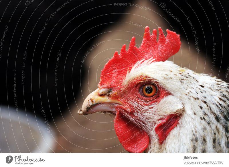 . Lebensmittel Ernährung Freizeit & Hobby Umwelt Natur Tier Nutztier Vogel Tiergesicht Flügel Haushuhn 1 Kommunizieren Kamm Schnabel Auge Feder rot