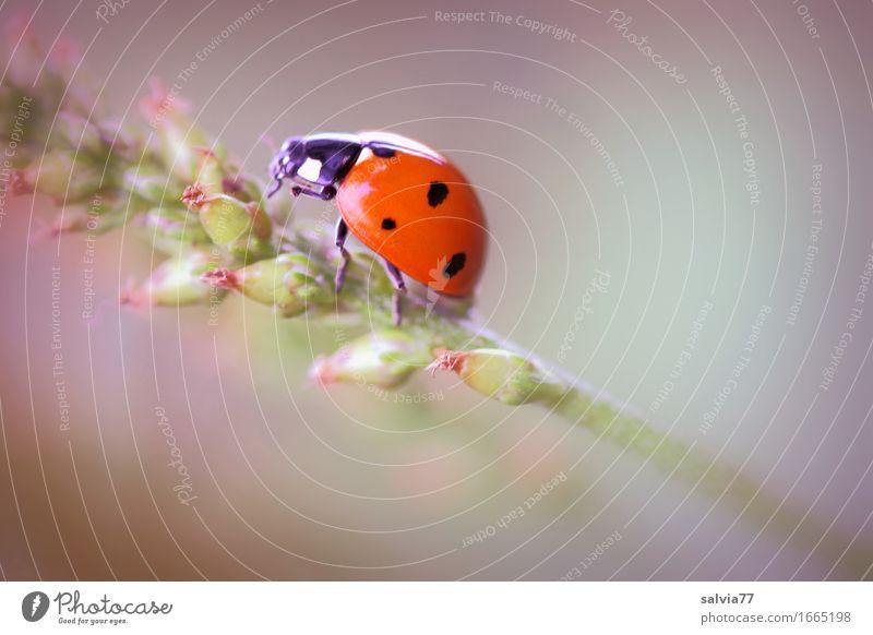 Glückskäfer Natur Pflanze Tier Frühling Sommer Blüte Grünpflanze Wildtier Käfer Siebenpunkt-Marienkäfer Insekt 1 krabbeln ästhetisch positiv schön grau grün
