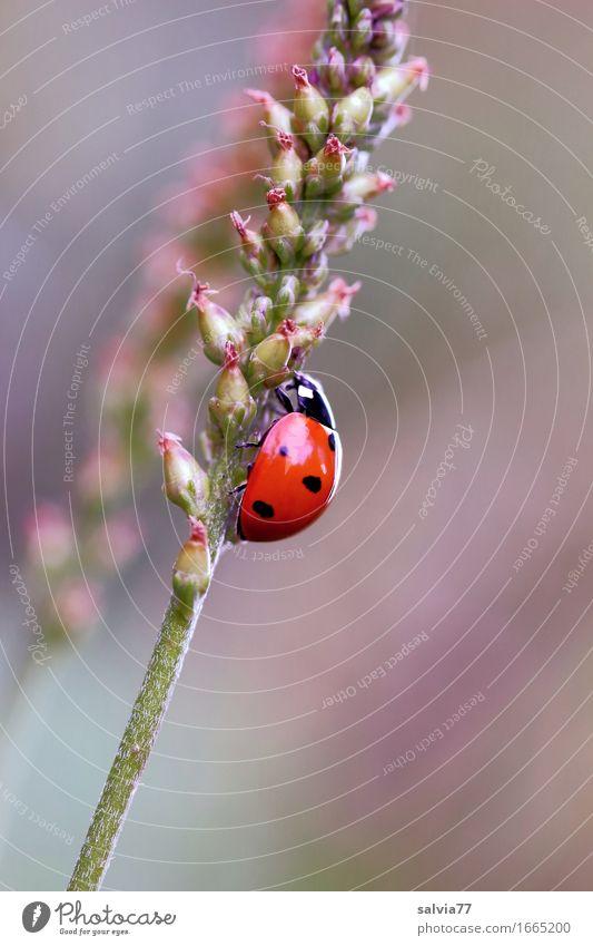 Aufwärtstrend Umwelt Natur Pflanze Tier Frühling Blüte Wiese Käfer Marienkäfer Siebenpunkt-Marienkäfer Insekt 1 krabbeln niedlich oben positiv braun grün orange