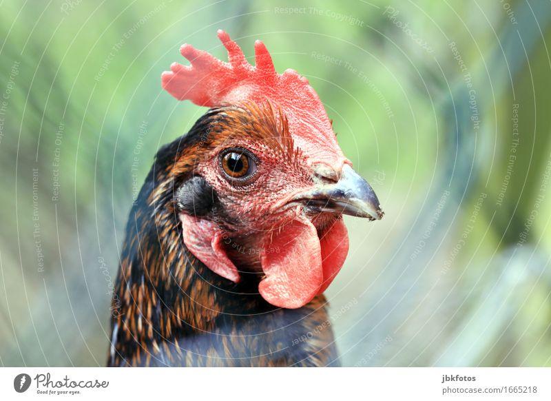 überwacht / Aufseherin im Hühnerstall Natur Tier Umwelt Lebensmittel Ernährung ästhetisch Coolness Haushuhn Nutztier