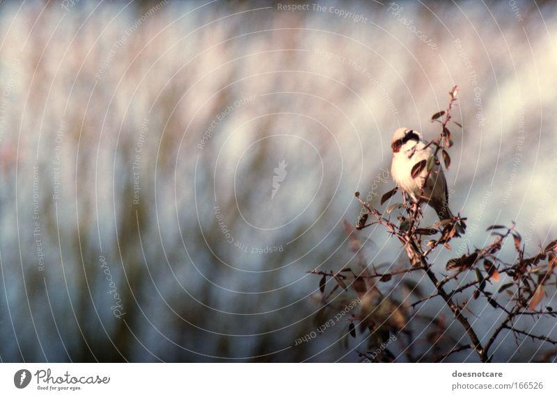today has been a lonesome day. Natur Herbst Sträucher Tier Vogel Spatz Sperlingsvögel 1 beobachten Blick kalt stachelig blau braun violett rosa Stachel