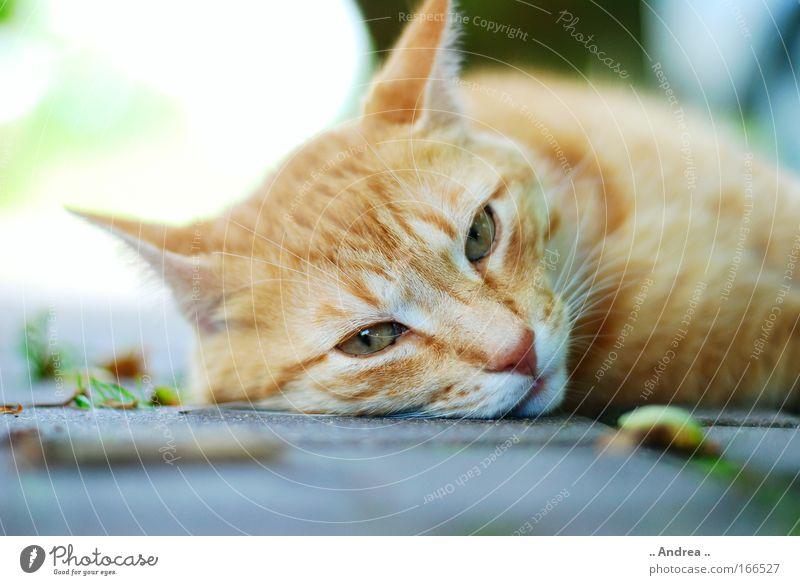 Red Tiger 18 Katze rot Tier Stein liegen kaputt schlafen Fell Tiergesicht Haustier kuschlig Tierliebe