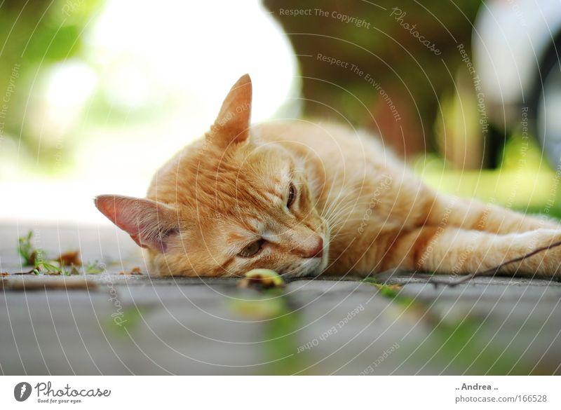 Red Tiger 19 Tier Haustier Katze Tiergesicht Pfote Stein liegen schlafen kuschlig niedlich cat getigert Stubentiger mietzi Kater Farbfoto Nahaufnahme Tag