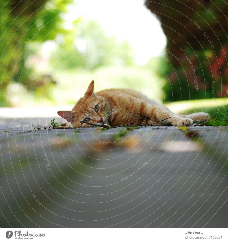 Red Tiger 20 Katze schön rot Tier liegen frisch schlafen Tiergesicht Haustier kuschlig freilebend Herumtreiben Straßenkatze