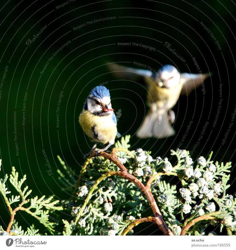 Zwiesprache Farbfoto Dämmerung Unschärfe Bewegungsunschärfe Natur Frühling Park Tier Wildtier Vogel Tiergesicht Flügel 2 Tierpaar fliegen Fröhlichkeit Glück