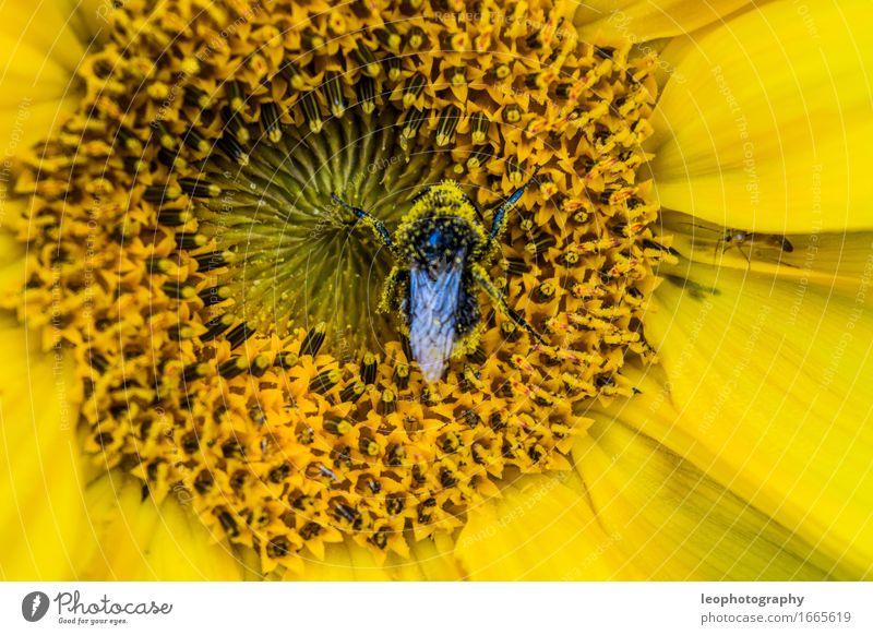 Hummel in einer Sonnenblume Natur Pflanze Blume Blüte Grünpflanze Nutzpflanze Wildpflanze Topfpflanze exotisch Garten Park Wiese Wald Blumenwiese beobachten
