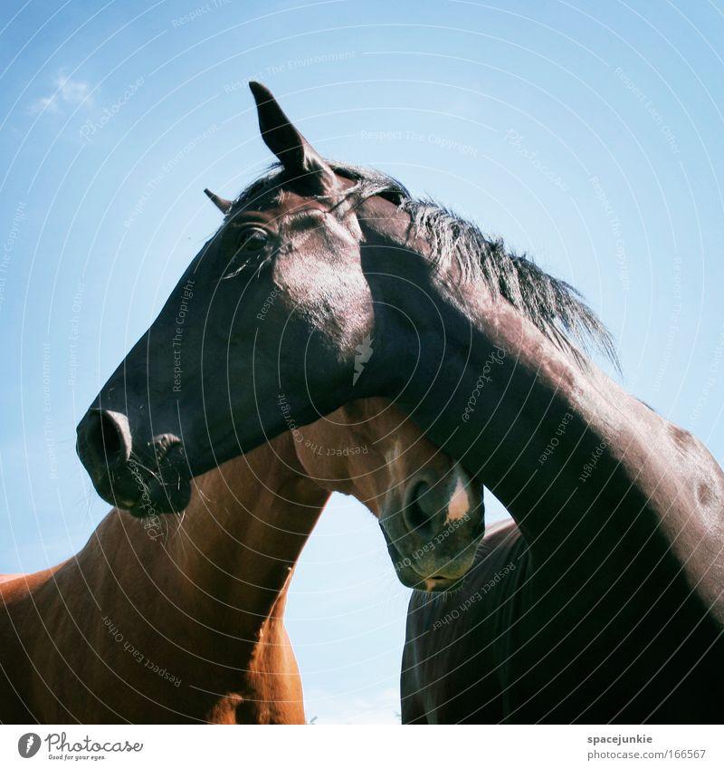 Love Farbfoto Außenaufnahme Reiten Himmel Sommer Tier Pferd 2 Tierpaar berühren Zusammensein genießen elegant glänzend Glück Neugier Zufriedenheit