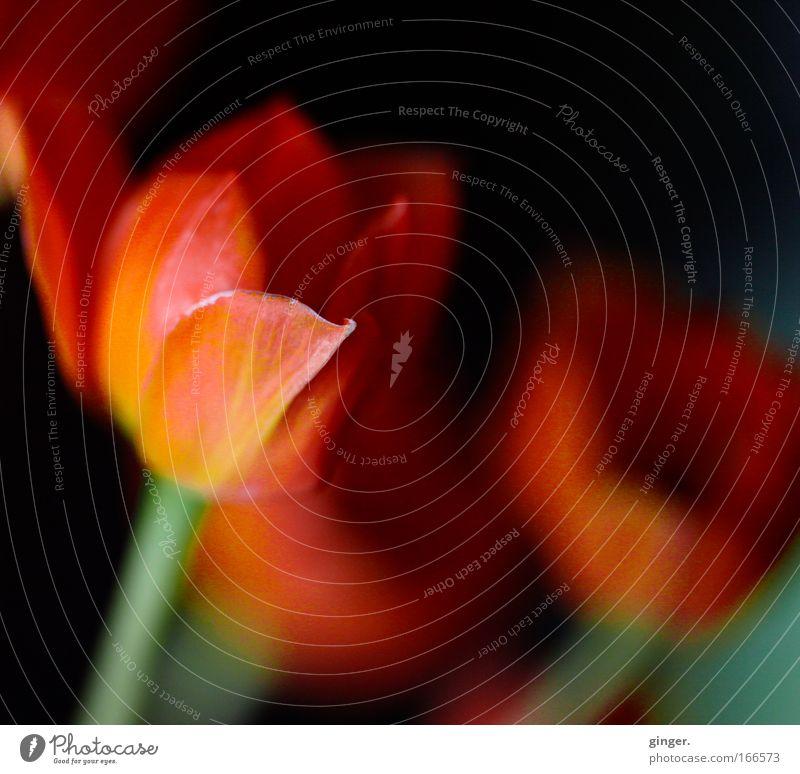 Flowerpowder grün Pflanze rot Blume schwarz gelb Blüte Blühend Stengel Blütenblatt