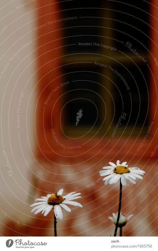 Kamille Natur Frühling Pflanze Blume Blatt Blüte Kamillenblüten Haus Mauer Wand Fassade Fenster Blühend Farbfoto Außenaufnahme Menschenleer Textfreiraum oben
