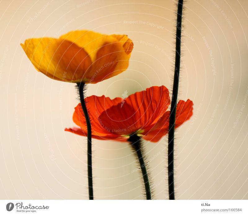 ein Trio mit nur zwei Köpfen Natur Pflanze Sommer Blume ruhig gelb Frühling Blüte orange elegant natürlich ästhetisch Wachstum Dekoration & Verzierung Blühend Mohn