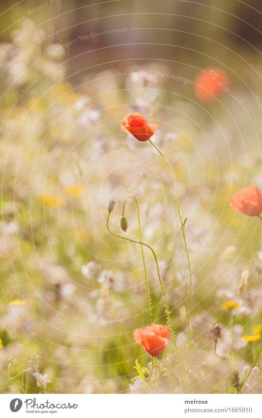 Leucht-M O H N elegant Natur Sommer Schönes Wetter Pflanze Blume Blüte Wildpflanze Blumenwiese Mohnblüte Blütenstiel Mohnkapsel Klatschmohn Gräserblüte Feld