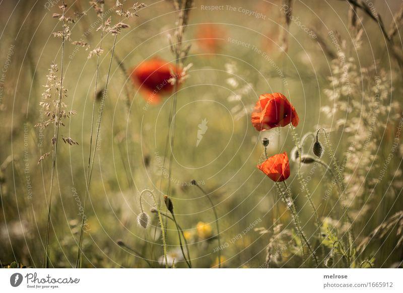 Mittwochs-M O H N Mohnblüte elegant Stil Natur Sommer Schönes Wetter Pflanze Blume Blüte Wildpflanze Klatschmohn rot Mohnblatt Gras Blumenwiese Mohnkapsel Feld