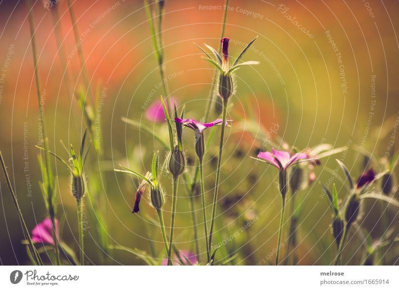 yeahhhhhhhh Sommer elegant Natur Schönes Wetter Pflanze Blume Blatt Wildpflanze Gras Gräserblüte Blütenpflanze Garten Wiese Farbstoff Farbenspiel sommerlich