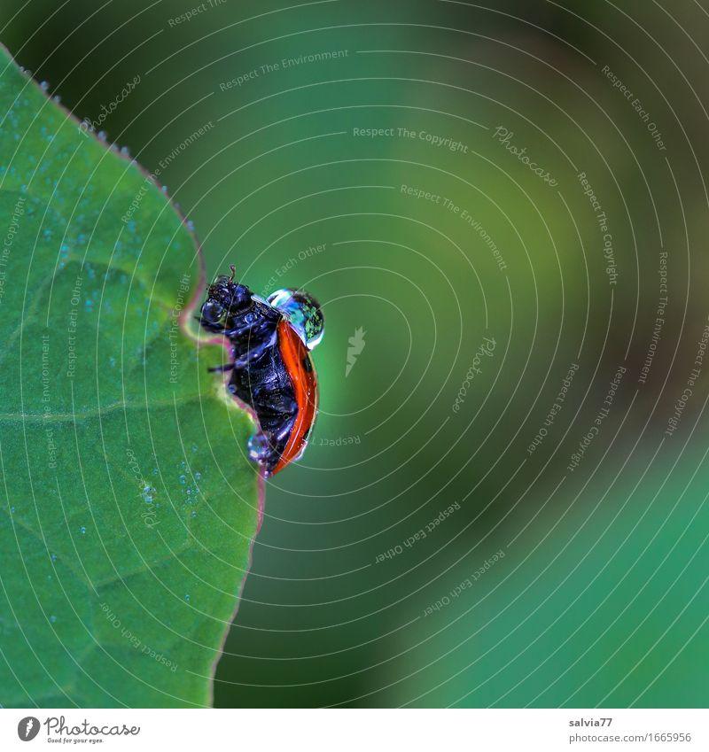 tropfnass Natur Wasser Wassertropfen schlechtes Wetter Regen Pflanze Blatt Käfer Marienkäfer Insekt krabbeln grün orange Frustration Wege & Pfade Tropfen Tau