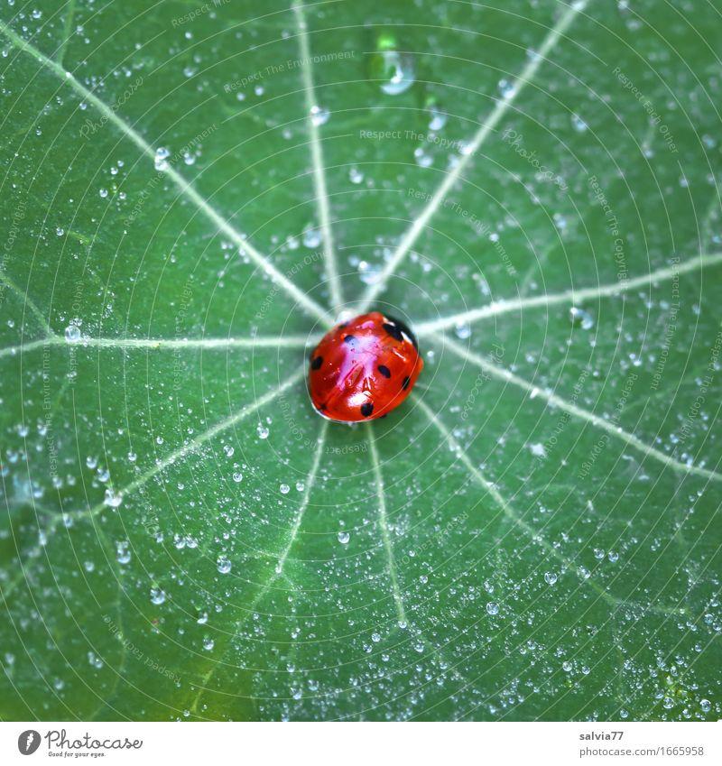 taufrisch Natur Wasser Wassertropfen Sommer Blatt Kapuzinerkresseblatt Garten Wildtier Käfer Marienkäfer Siebenpunkt-Marienkäfer 1 Tier krabbeln glänzend klein