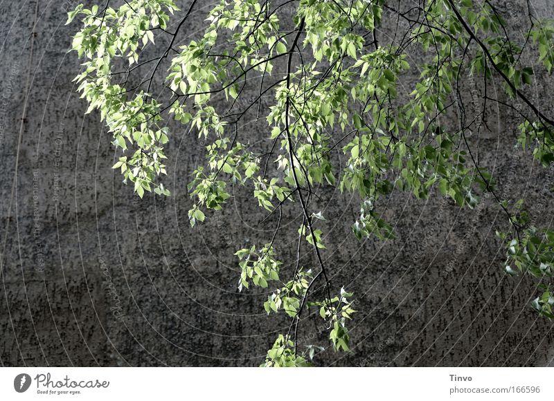 grüne Lunge Natur Baum ruhig Blatt Wand Frühling grau Mauer Kraft frisch Hoffnung atmen Erinnerung Treue Neuanfang
