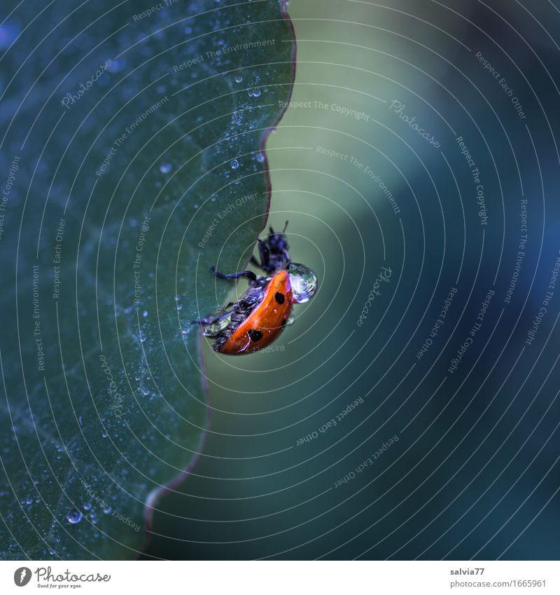 Regenzeit Natur Pflanze Tier Wasser Wassertropfen schlechtes Wetter Blatt Käfer Siebenpunkt-Marienkäfer Insekt 1 krabbeln klein nass grün orange Gelassenheit