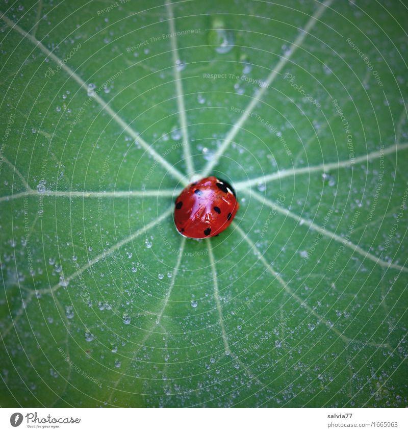 Zentriert Umwelt Natur Pflanze Tier Blatt Kapuzinerkresseblatt Garten Wildtier Käfer Marienkäfer Siebenpunkt-Marienkäfer Insekt 1 krabbeln ästhetisch klein grün