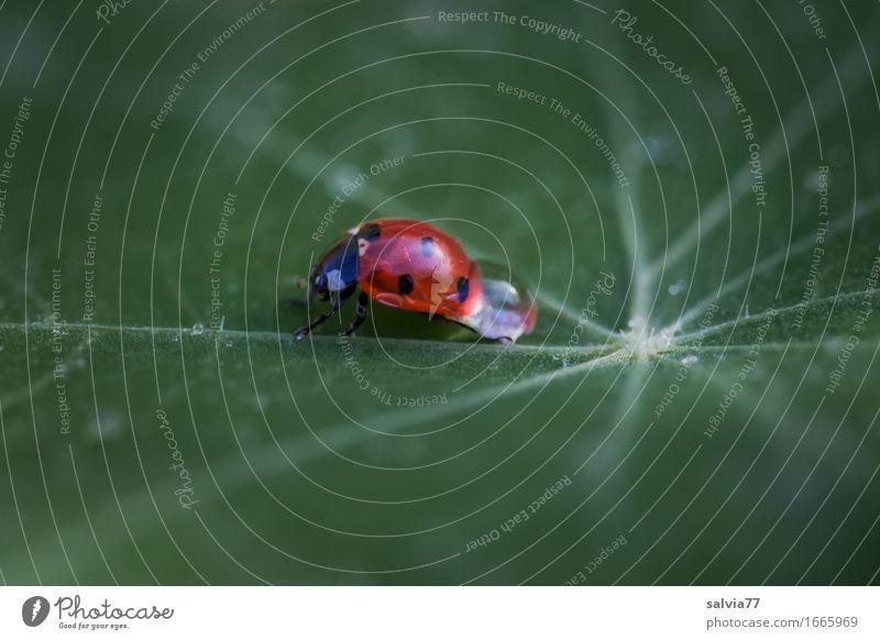 Tauziehen Natur Pflanze Tier Wasser Wassertropfen Sommer Blatt Garten Käfer Siebenpunkt-Marienkäfer Insekt 1 krabbeln tragen frisch Gesundheit Glück grün rot