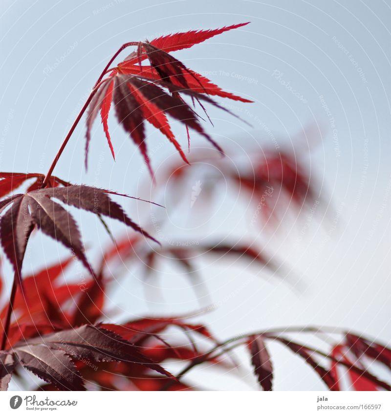 Japanese Maple Tree III Himmel blau Pflanze rot Blatt Sträucher Ahornblatt Ahorn Zweige u. Äste