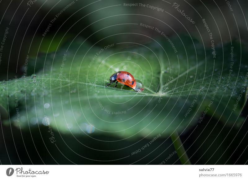 Schlepp-Tau Umwelt Natur Pflanze Tier Wasser Wassertropfen Sommer Blatt Grünpflanze kapuzienerkresse Garten Wildtier Käfer Siebenpunkt-Marienkäfer Insekt 1