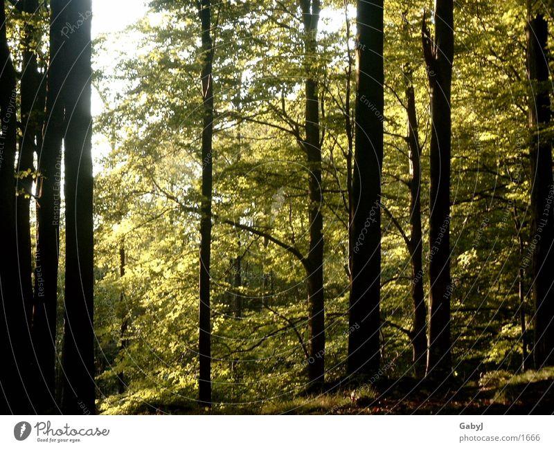Waldlicht2 Baum dunkel gefährlich Baumstamm Sammlung Phantasie unheimlich Tapete Holzmehl Fototapete