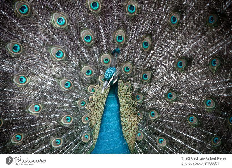 wow-pfau Farbfoto Außenaufnahme Strukturen & Formen Textfreiraum oben Tag Schatten Kontrast Wegsehen Natur Tier Zoo 1 ästhetisch außergewöhnlich Coolness