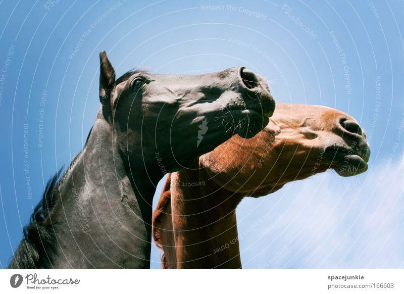 Gemeinsam in die Zukunft schauen Farbfoto Außenaufnahme Reiten Tier Pferd Tiergesicht 2 Tierpaar beobachten berühren Blick träumen elegant glänzend Glück