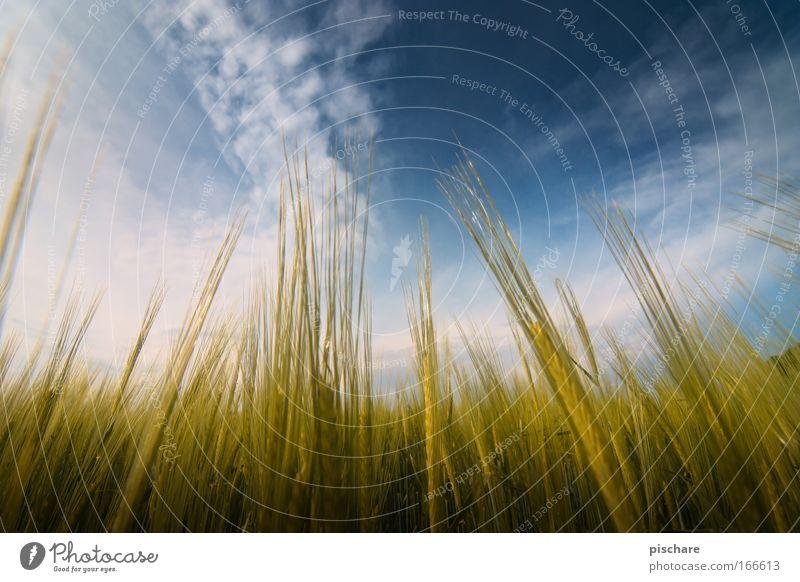 Corny vs. MilkyWay Natur Landschaft Himmel Wolken Sommer Schönes Wetter Nutzpflanze Getreide Feld Wachstum frei natürlich Sauberkeit schön blau gelb gold