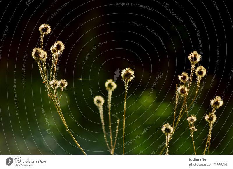 Lichtung Natur Pflanze Sommer Umwelt Wiese Wachstum leuchten Spitze Schönes Wetter stachelig Waldlichtung Unkraut Wildpflanze dehydrieren Heilpflanzen
