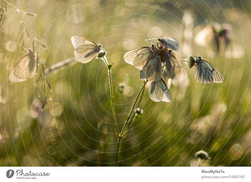 Aporia crataegi Natur Pflanze Klima Blume Gras Garten Park Feld Wald Tier Wildtier Schmetterling Tiergruppe Fröhlichkeit Euphorie Optimismus Tierliebe Romantik
