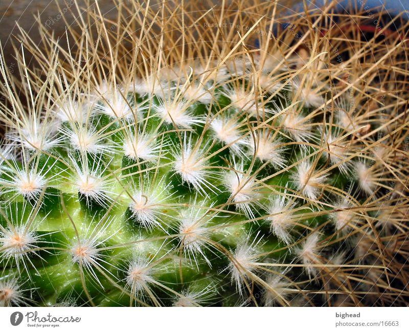 Stachelig grün Kaktus
