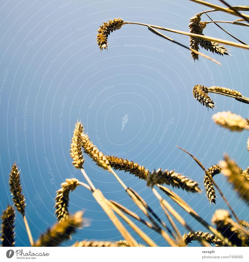 Sommerfeld Umwelt Landschaft Gras Feld weich Idylle Blühend Getreide Ackerbau Futter Roggen Makroaufnahme Hayfield