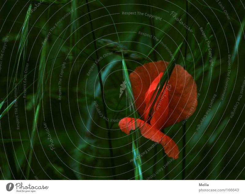 Versteckt Farbfoto Außenaufnahme Tag Natur Pflanze Frühling Sommer Blume Gras Blüte Wildpflanze Mohn Mohnblüte Halm Wiese Feld Duft dunkel schön grün rot Idylle