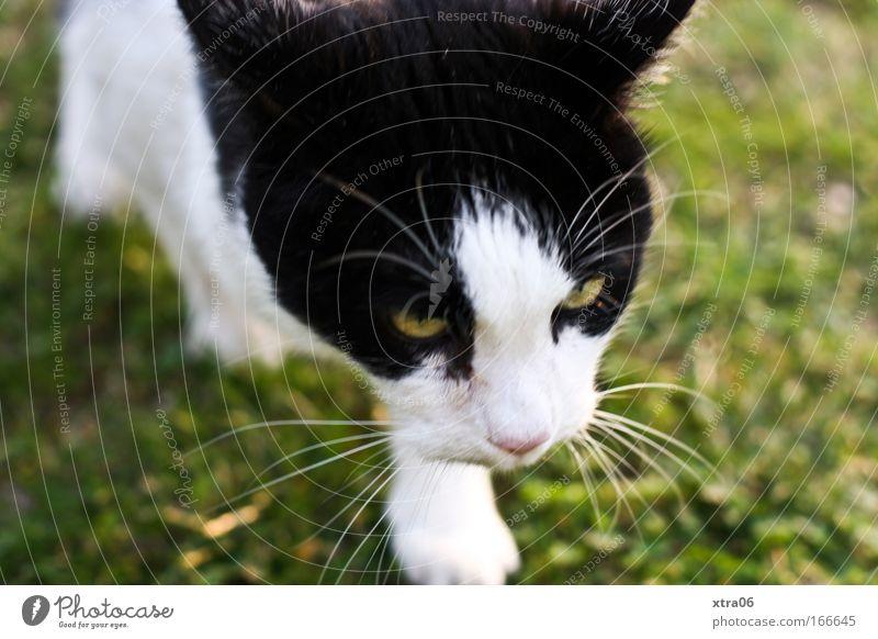 jäger Farbfoto Außenaufnahme Nahaufnahme Tag Sonnenlicht Tierporträt Ganzkörperaufnahme Vorderansicht Blick nach vorn Haustier Katze Fell Pfote 1 Aggression